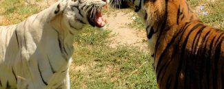 El Periscopio, Buin Zoo, Concurso, Entradas, Tigre de Bengala, Charly, redes sociales