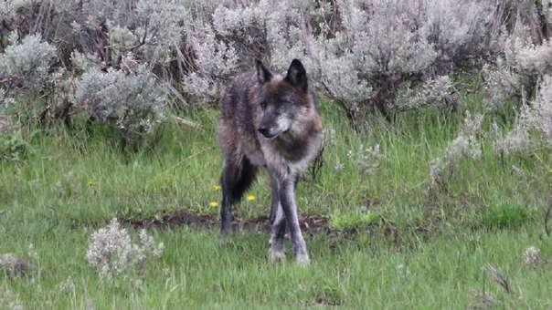 Cazadores acaban con la vida de la Loba Spitfire, ícono del parque Yellowstone en los EEUU